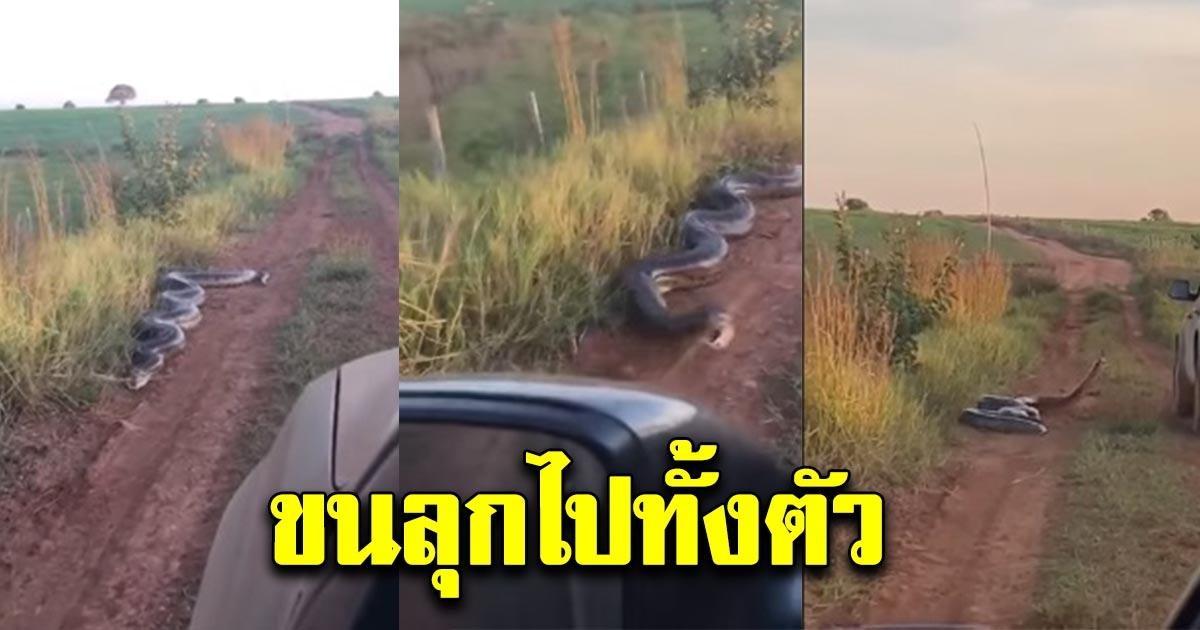 หนุ่มเจอ งูยักษ์ นอนอยู่ริมถนน แค่ขับรถผ่านก็ไล่ฉกยางล้อ น่ากลัวมาก